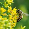 Western/European Honey Bee
