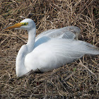 Great Egret (male in mating plumage)