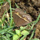 Dingy Bushbrown or Common Bushbrown Butterfly (near DSF)