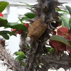 praying mantis egg case