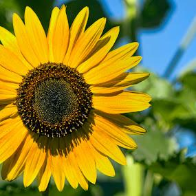 Sunflower by Pete Bobb - Flowers Single Flower ( cooper river, camden, sunflower, yellow flower, flower,  )