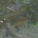Northern Longear Sunfish