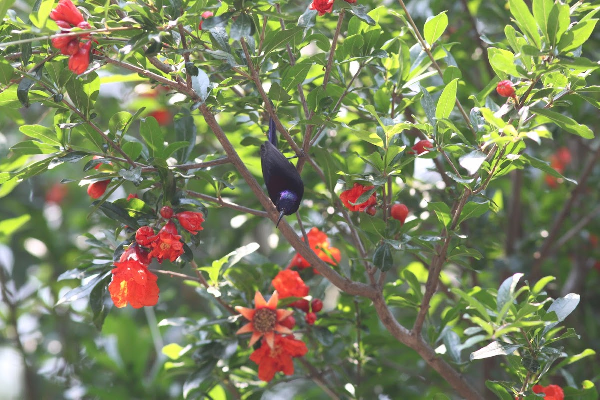 balck throated sunbird