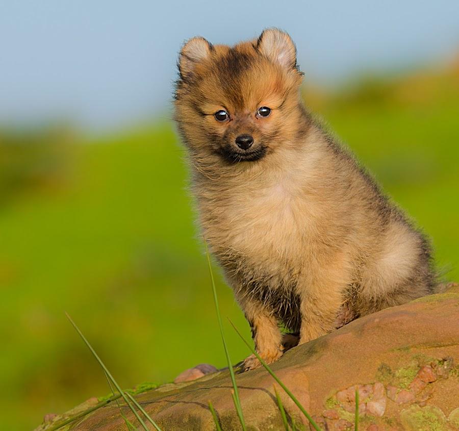 my wee rock by Michael  M Sweeney - Animals - Dogs Portraits ( natural light, rock, hugo, michael m sweeny, nikond800, pom, pet, pomerainam, outdoors, puppy, dog, nikon, scottish high lands, pomeranian )