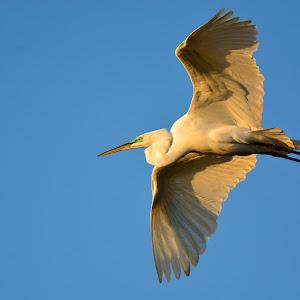 egret_flight.jpg