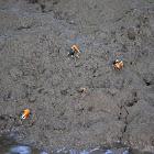 Orange-clawed Fiddler Crab