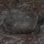 Golpher Tortoise