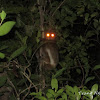 Southern wolly lemur