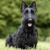 Scottish Terriers Wallpapers