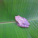 Hourglass Tree-frog