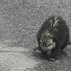 Prehensile tailed porcupine