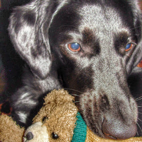 Black Labrador playing with Favorite Toy by Nat Bolfan-Stosic - Animals - Dogs Playing ( toy, play, labradot, favorite, young, #GARYFONGPETS, #SHOWUSYOURPETS,  )