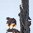 Gavilán cola roja, adulto (Red-tailed Hawk)