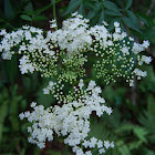 Elder or Elderberry