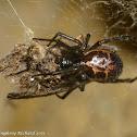 False widow vs. moth