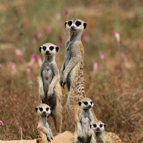 Suricate Family by Adéle van Schalkwyk - Animals Other Mammals ( wild, surricate, nature, family, widlife, baby's, mammal, animal )