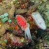 Cuttlefish (juvenile)