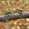 Green Marsh Hawk