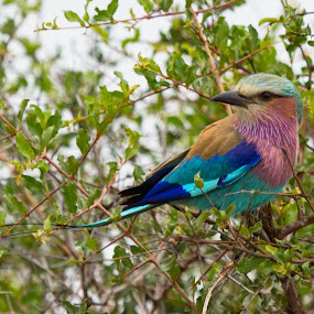 Lilac Breasted Roller by Ailsa Burns - Animals Birds ( bird shots, colourful, colorful, colors, bird pictures, bird photos, birds, bird photography )
