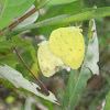 Three-Spot Grass Yellow (Mating)