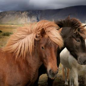 My horses by Anna Guðmundsdóttir - Animals Horses ( iceland, icelandic horses, horses, íslenskir hestar, hestar,  )