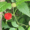 Frambuesa Silvestre, Wild Strawberries
