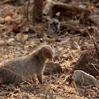 Indian gray mongoose