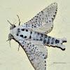 Wood Leopard Moth