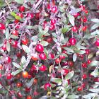 Prickly Currant-bush
