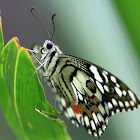 lime butterfly -  Papilio demoleus