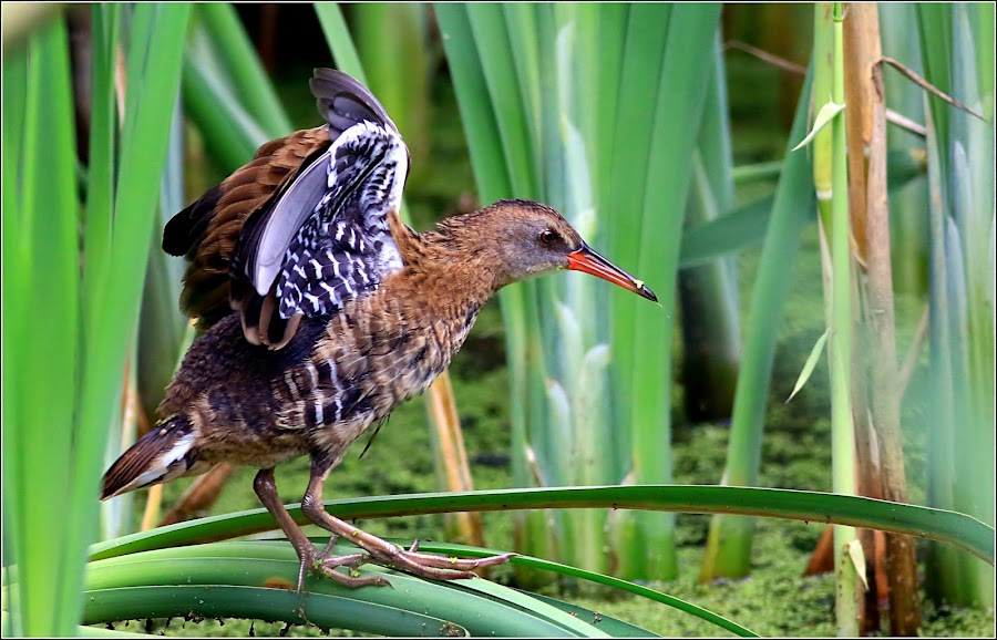 Water Rail.  by Stuart Finley - Animals Birds