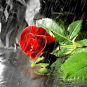 Rose Under Rain Live Wallpaper icon