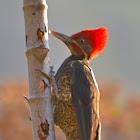 Liniated Woodpecker