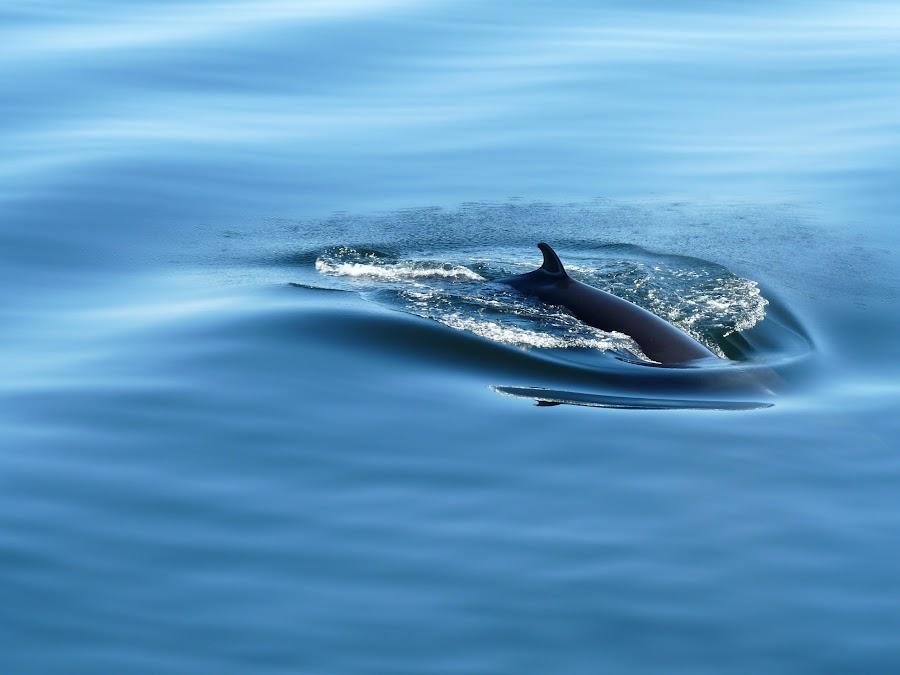 Wale - Canada by Renaud Ribet - Animals Sea Creatures ( baleine, fz28, canada, st laurent, nikon, whale, mammifère, panasonic )
