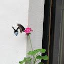 Mormon butterfly