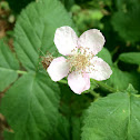 Blackberry flower