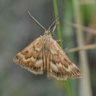 Synaphe moldavica Moth