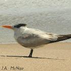 Royal Tern (non-breeding)