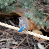 Splendid Fairywren (Female)