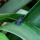 Blue Jean Posion Dart Frog