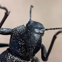 Pinacate beetle