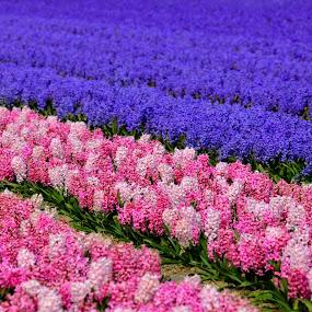 pink, purple, white flowers by Marjorie Speiser - Flowers Flower Gardens ( field, color, holland, bulbs, rows )