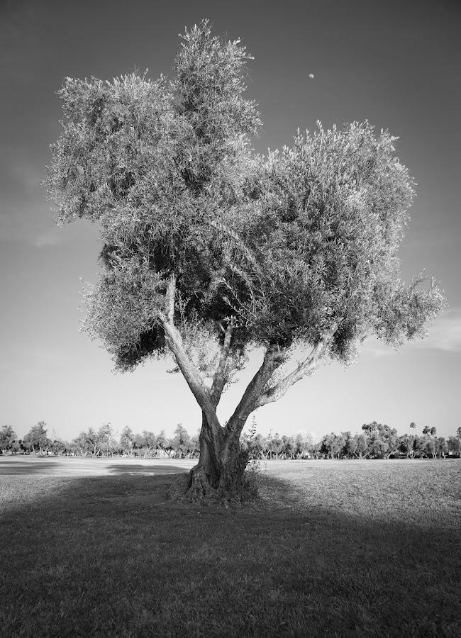 Olive Tree by Gannon McGhee - Black & White Flowers & Plants ( tree, black and white, arizona, phoenix, olive )