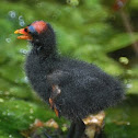 Common Gallinule (baby)