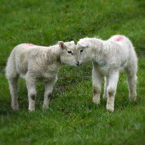 Baby lambs by Kathryn Johnson - Animals Other ( love, babies, nature, lambs, spring,  )