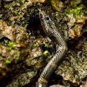 Travancore Wolf snake