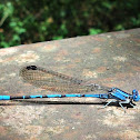 American Bluets / Common Blue Damselfly