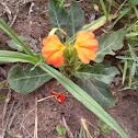 Bushveld Crossandra