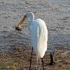 Great Egret + Video