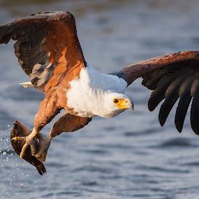 Fish Eagle by Tom Esterhuizen - Animals Birds ( chobe, botswana, eagle, fishing, africa, raptors )